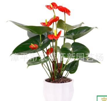 红掌盆栽 鸿运当头粉色红掌 观叶水培红掌吸甲醛四季开花常绿植物