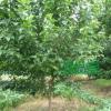 绿化苗木樱桃胸径4-12公分 湖南基地批发直销 跳马柏加大量现货