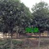 绿化苗木]长沙苗圃供应丹桂树 5-10公分 基地直销 绿化工程用树