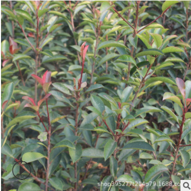 山东苗圃基地批发红叶石楠 绿化景观苗木 成活高红叶石楠