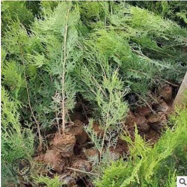 产地直销大量绿化工程用侧柏苗根系好易成活一年侧柏小苗批发价格