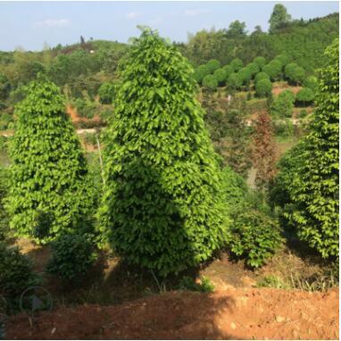 常绿乔木红豆杉出售 优价供应各规格园林绿化观赏树
