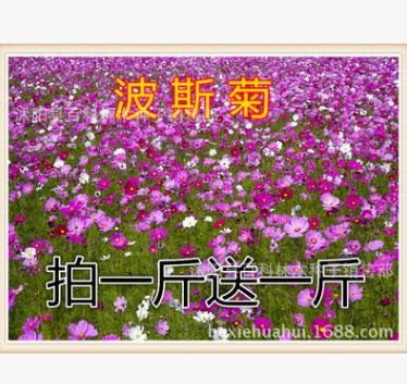 波斯菊 野花组合 草花波斯菊 格桑花 草花 太阳花 金鸡菊
