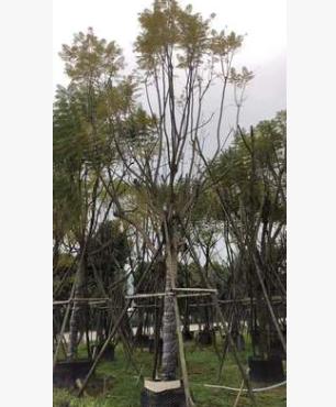 绿化花卉景观树10-20福建基地蓝花楹园林
