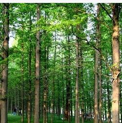 供应优质水杉,水杉供应,水杉价格,价格低规格齐全