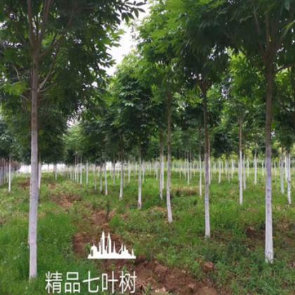 大量供应绿化工程苗木 七叶树 植物苗木 规格齐全 量大从优