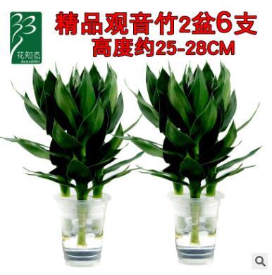 花知态观音竹富贵发财竹办公室内桌面水培植物带根好养活盆栽花卉