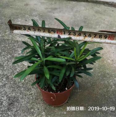 罗汉松台湾140# 24盆箱广贤园艺