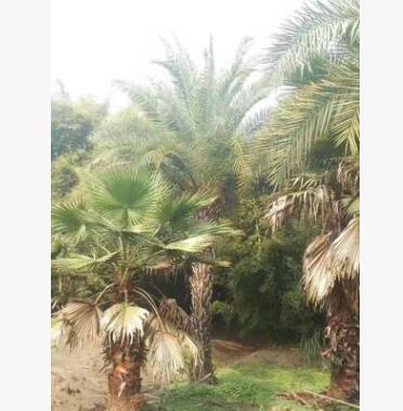银海枣基地花卉绿化树