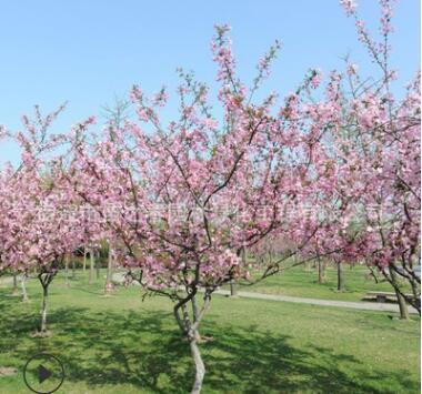 风景树垂丝海棠树苗批发工程绿化西府海棠会呼吸的树