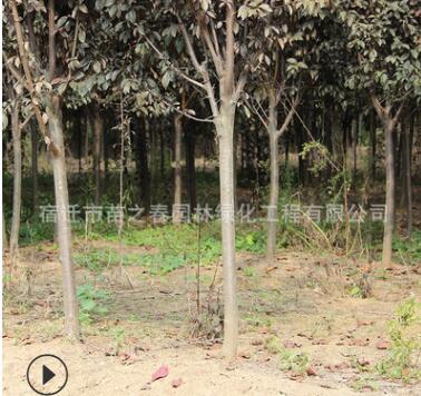 红叶李树苗批发园林绿化苗木紫叶李小苗绿篱庭院种植红叶李