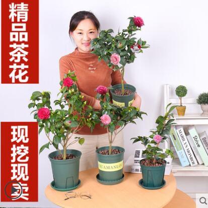 山茶花树苗盆栽带花苞