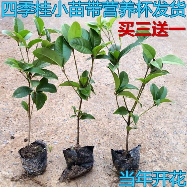 四季桂花树苗批发八月黄花日香桂