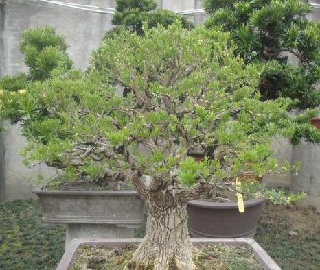 广西黄杨木