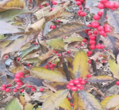 北美冬青 价格便宜做盆景 绿化 鲜切花都可以 适合南北方种植冬青