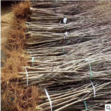 樱桃果树苗木常年提供自产自销 烟台樱桃1.5公分苗长期出售樱桃苗