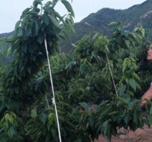 长期出售樱桃苗 脱毒苗木常年提供苗木基地直销 大樱桃五年苗