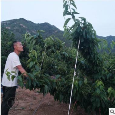 长期出售樱桃苗 大樱桃五年苗 果树苗木常年提供苗木基地直销