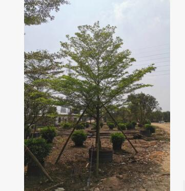 基地直销 小叶榄仁细叶榄仁 锦叶榄仁工程绿化 园林道路绿化树种