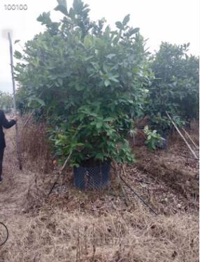 自家基地供应绿化苗木洋蒲桃 自家苗场种植洋蒲桃 丛生洋蒲桃