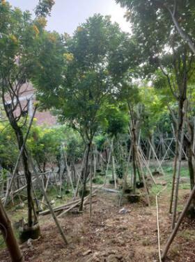 基地直销 黄花槐园林景观工程供应 规格齐全