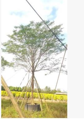 供应凤凰木 景观植物凤凰木树 园林绿化行道风景树