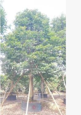 基地供应秋枫树苗树种 秋枫绿化苗木工程供应 园林工程绿化苗木