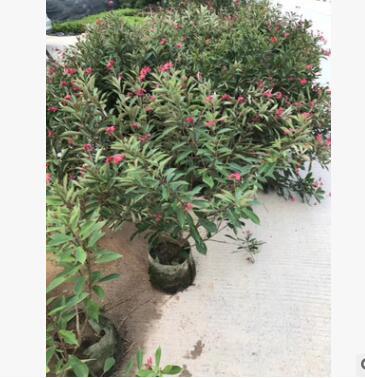 基地直销 琴叶珊珊 供应绿化庭院设计