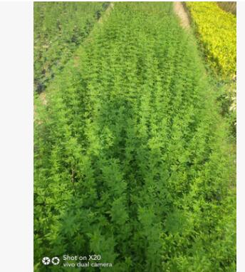 福建厂家直销批发供应迎春花地被袋苗 花坛园林绿篱景观工程绿植