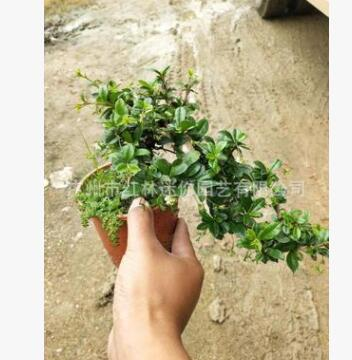 基地精品微型景观植物 悬崖福建茶 室内造型盆栽办公室桌盆景花卉