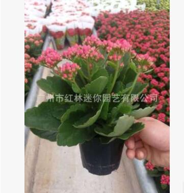 基地批发 长寿花观叶植物花卉小盆栽创意绿植 室内净化多肉类盆栽