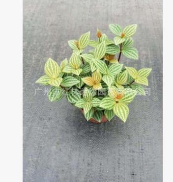 基地批发 轮叶豆瓣绿 植物含盆吸甲醛花卉观叶 室内净化绿植盆栽