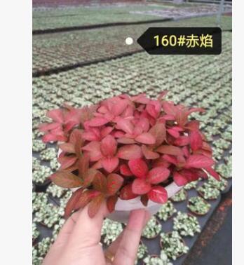 基地批发 各类网纹草 植物含盆 阴生花卉 微型室内净化绿植盆栽