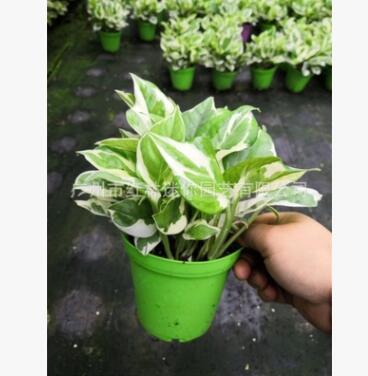 白金葛 绿萝 室内吸甲醛绿植盆栽净化空气花卉植物