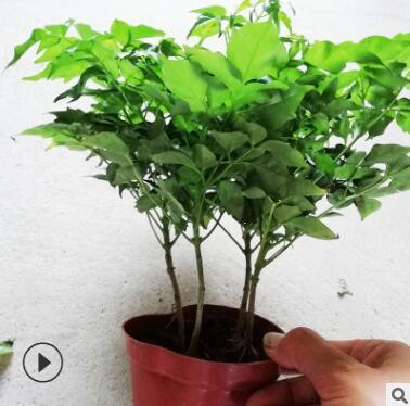 幸福树 室内客厅办公室绿色植物花卉小盆栽基地供应