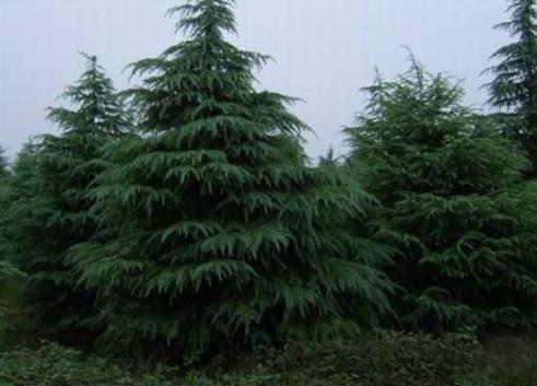 雪松树苗木材