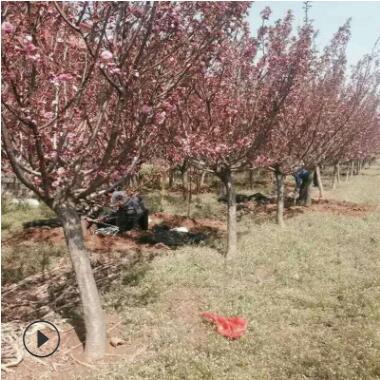 长期种植出售樱花树苗 品种保障现场看苗日本晚樱樱花树苗