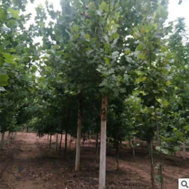 泰安绿化树基地出售1-20公分法桐树 批发规格齐全法国梧桐树