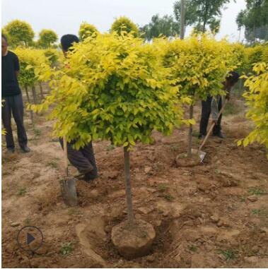 泰安绿化树基地出售1-15公分金叶榆树 金叶榆球 金叶榆小苗