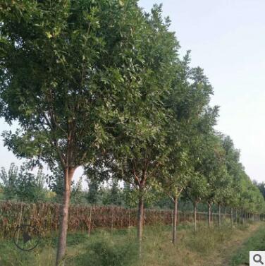 泰安绿化树基地大量出售白蜡树 白蜡树小苗