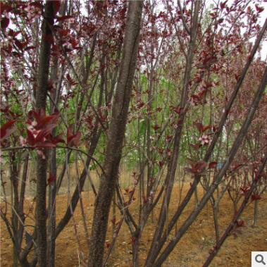 基地出售1-20公分紫叶李 紫叶李树苗 红叶李树苗