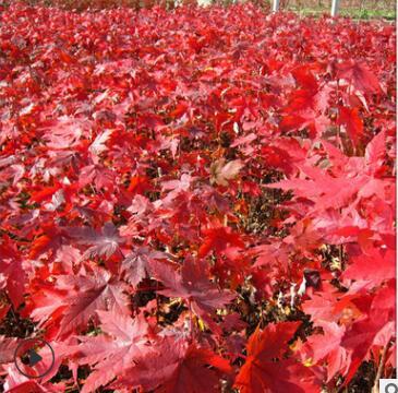 泰安基地出售1红枫 规格齐全红枫小苗