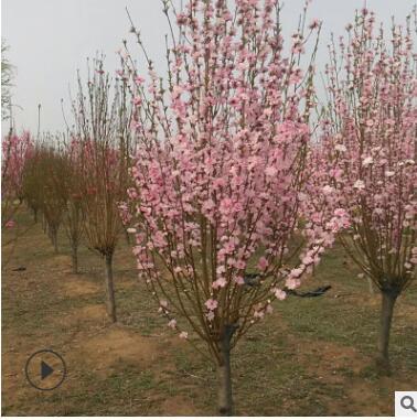 泰安苗木基地出售十几种花色绿化用桃树 红叶碧桃 龙珠碧桃