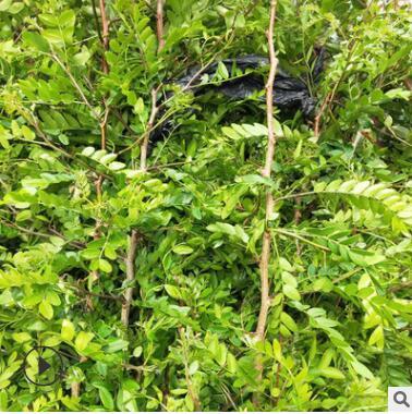 常年出售皂角树苗 皂刺树苗带刺大皂角药材树苗皂角种子苗大