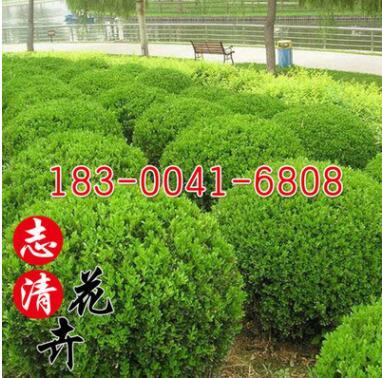 基地直销大叶黄杨球常绿灌木冬青树工程绿化苗木冬青球