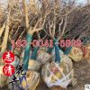 基地直销樱花树苗 园林工程绿化 庭院盆栽地栽苗 日本樱花树苗