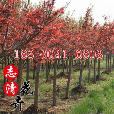 基地直销红枫苗美国红枫 中国红枫小苗园林工程绿化苗木规格齐全