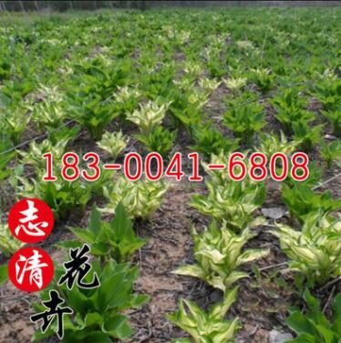 基地直销金边玉簪苗 庭院盆栽地栽苗观叶植物白花玉簪苗