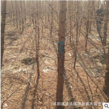 园林工程绿化苗木水杉湿地行道风景树落叶乔木3-8公分江苏水杉
