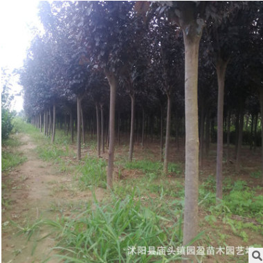 园林绿化工程苗木紫叶李公园道路点缀落叶小乔木红叶李